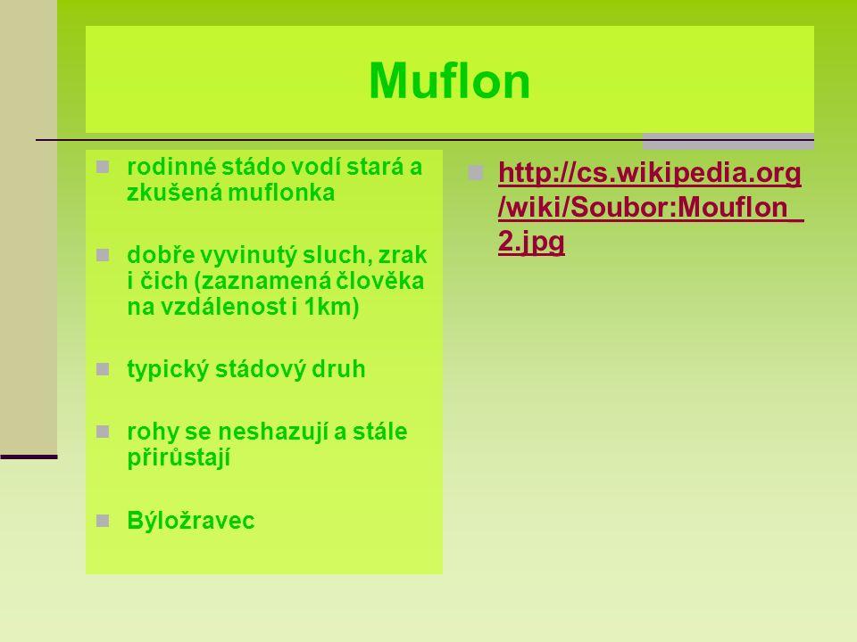 Muflon rodinné stádo vodí stará a zkušená muflonka dobře vyvinutý sluch, zrak i čich (zaznamená člověka na vzdálenost i 1km) typický stádový druh rohy se neshazují a stále přirůstají Býložravec http://cs.wikipedia.org /wiki/Soubor:Mouflon_ 2.jpg http://cs.wikipedia.org /wiki/Soubor:Mouflon_ 2.jpg