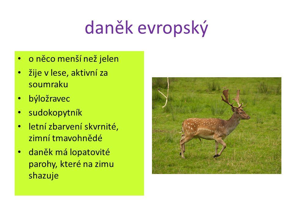 daněk evropský o něco menší než jelen žije v lese, aktivní za soumraku býložravec sudokopytník letní zbarvení skvrnité, zimní tmavohnědé daněk má lopatovité parohy, které na zimu shazuje