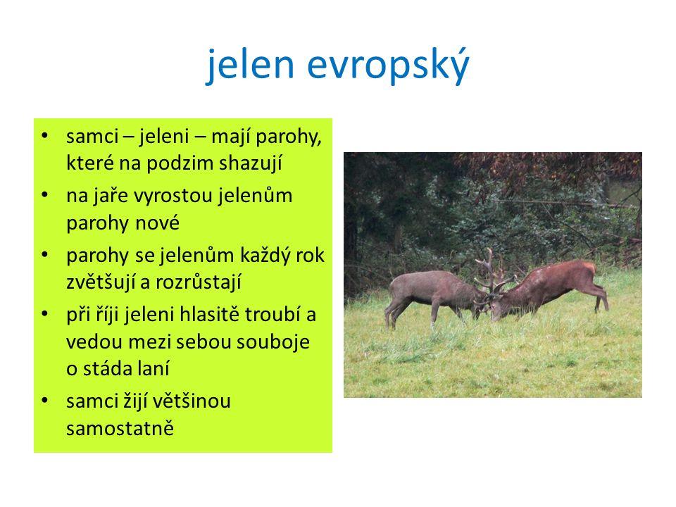 """jelen evropský samice – laně – žijí ve stádech při pastvě vždy několik samic hlídá, zda nehrozí nějaké nebezpečí mládě – kolouch – má bílé tečky matku potřebují nejméně 3 měsíce na """"opuštěné koloušky nikdy nesaháme!"""