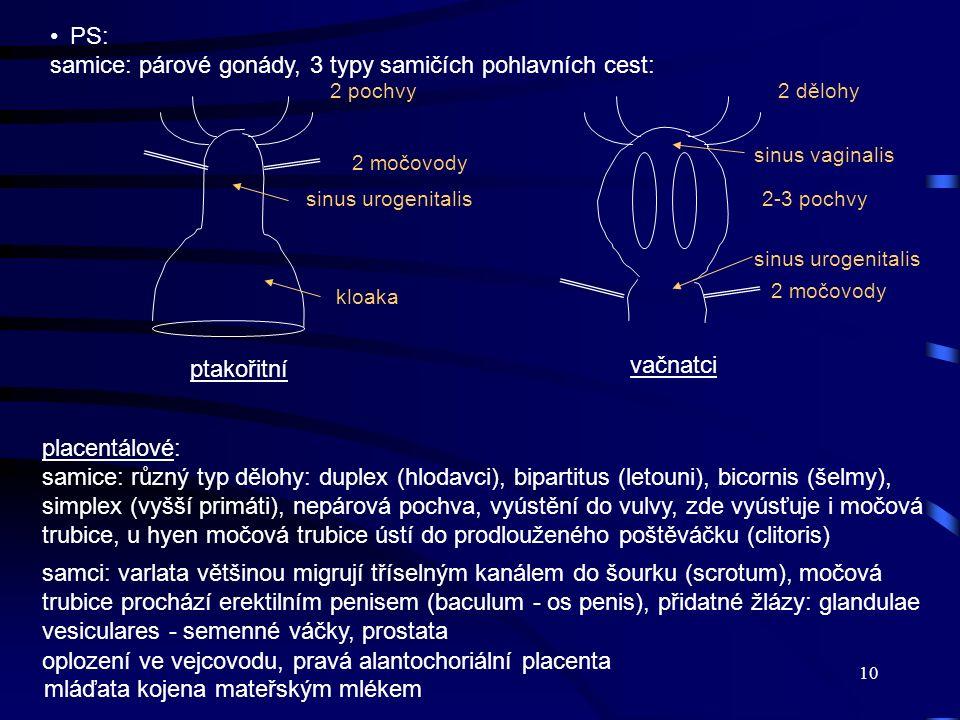 10 PS: samice: párové gonády, 3 typy samičích pohlavních cest: kloaka 2 močovody2 pochvy sinus urogenitalis ptakořitní 2-3 pochvy 2 dělohy 2 močovody