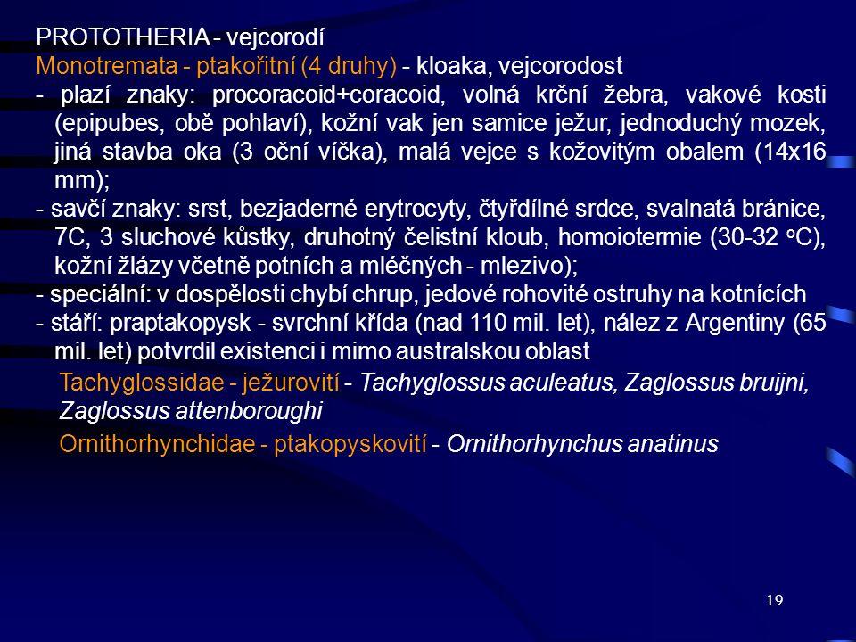 19 PROTOTHERIA - vejcorodí Monotremata - ptakořitní (4 druhy) - kloaka, vejcorodost - plazí znaky: procoracoid+coracoid, volná krční žebra, vakové kos