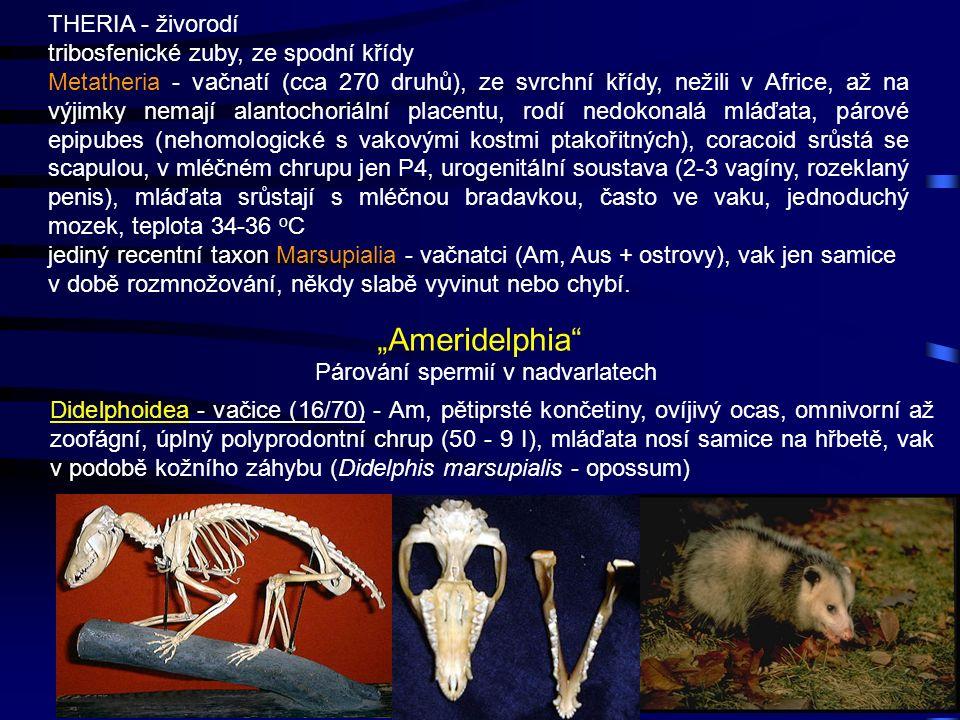 23 THERIA - živorodí tribosfenické zuby, ze spodní křídy Metatheria - vačnatí (cca 270 druhů), ze svrchní křídy, nežili v Africe, až na výjimky nemají