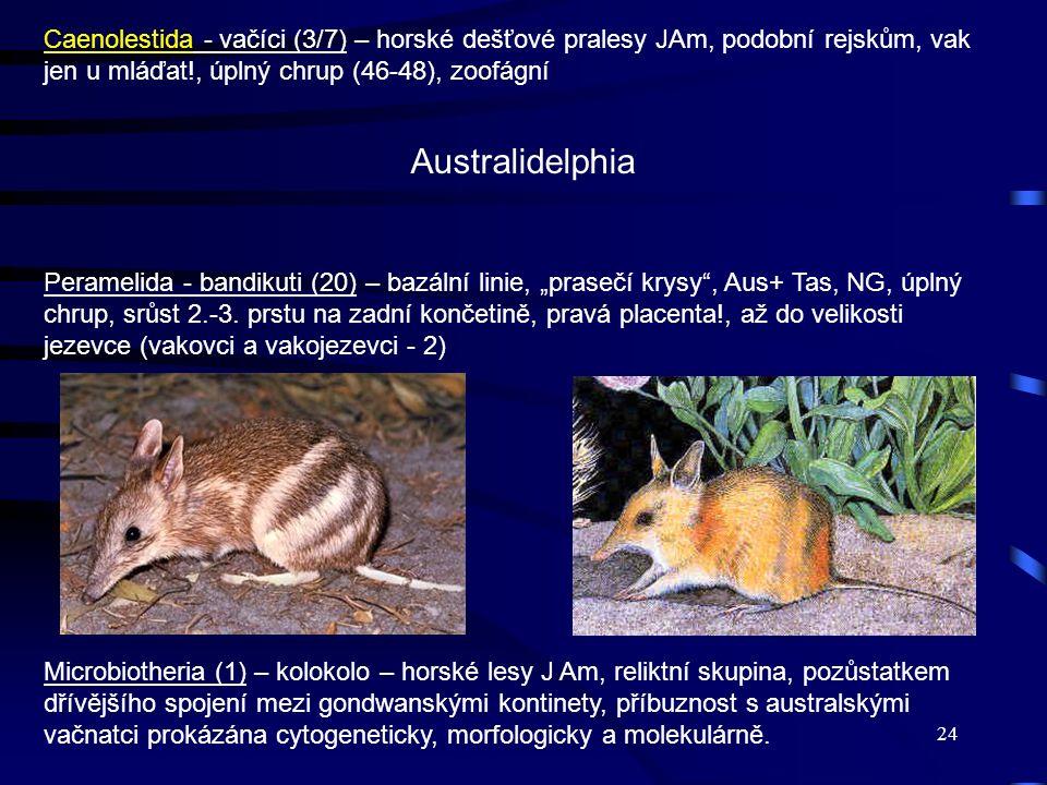 24 Caenolestida - vačíci (3/7) – horské dešťové pralesy JAm, podobní rejskům, vak jen u mláďat!, úplný chrup (46-48), zoofágní Peramelida - bandikuti