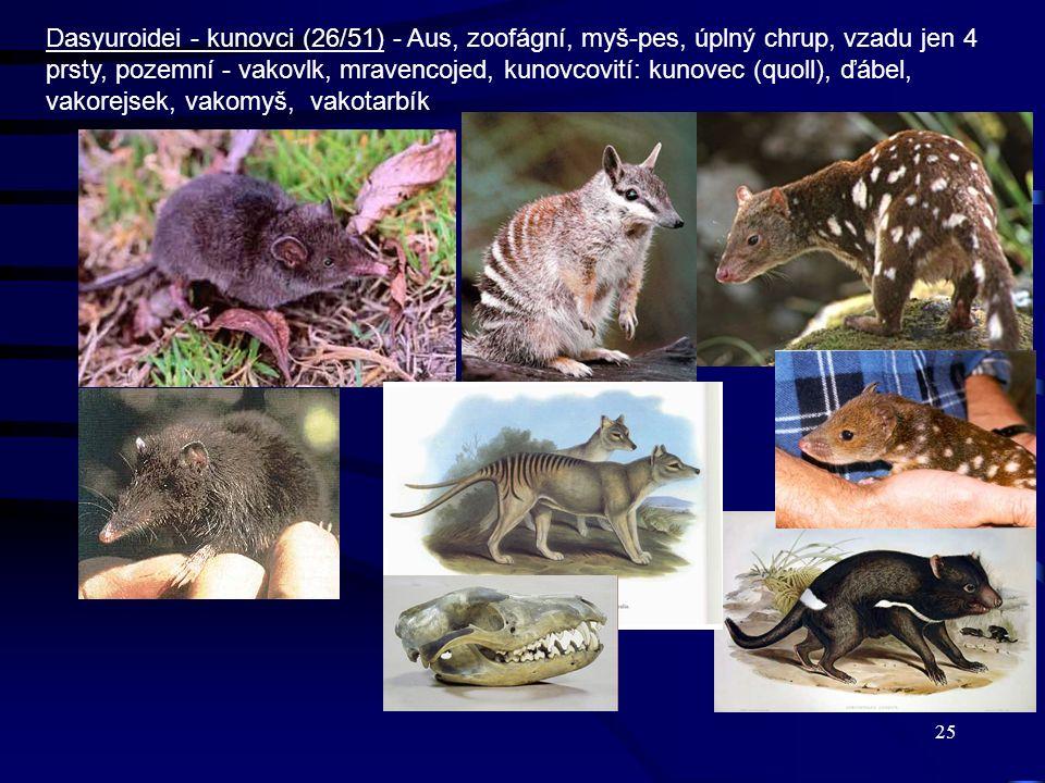 25 Dasyuroidei - kunovci (26/51) - Aus, zoofágní, myš-pes, úplný chrup, vzadu jen 4 prsty, pozemní - vakovlk, mravencojed, kunovcovití: kunovec (quoll