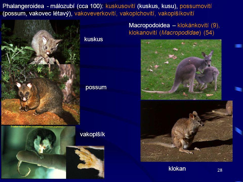 28 kuskus possum vakoplšík Phalangeroidea - málozubí (cca 100): kuskusovití (kuskus, kusu), possumovití (possum, vakovec létavý), vakoveverkovití, vak