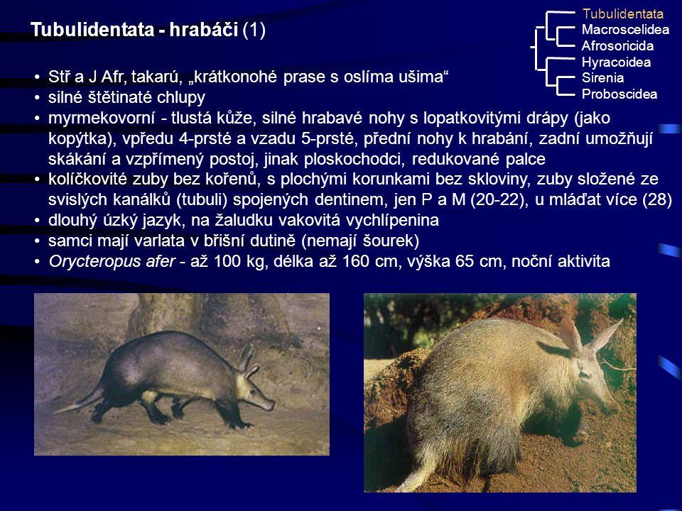 """30 Tubulidentata - hrabáči (1) Stř a J Afr, takarú, """"krátkonohé prase s oslíma ušima"""" silné štětinaté chlupy myrmekovorní - tlustá kůže, silné hrabavé"""
