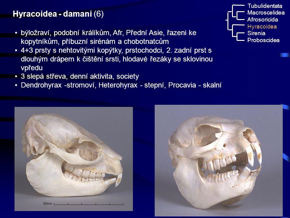 34 Macroscelidea Afrosoricida Hyracoidea Tubulidentata Sirenia Proboscidea Hyracoidea - damani (6) býložraví, podobní králíkům, Afr, Přední Asie, řaze