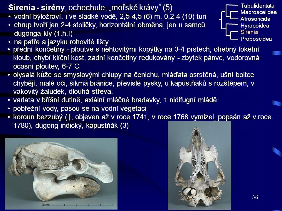 "36 Macroscelidea Afrosoricida Hyracoidea Tubulidentata Sirenia Proboscidea Sirenia - sirény, ochechule, ""mořské krávy"" (5) vodní býložraví, i ve sladk"