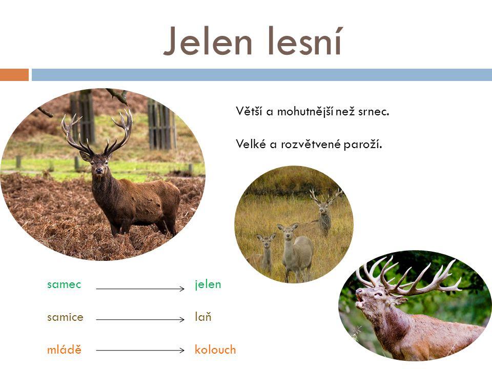 Jelen lesní Větší a mohutnější než srnec. Velké a rozvětvené paroží. samec jelen samice laň mládě kolouch