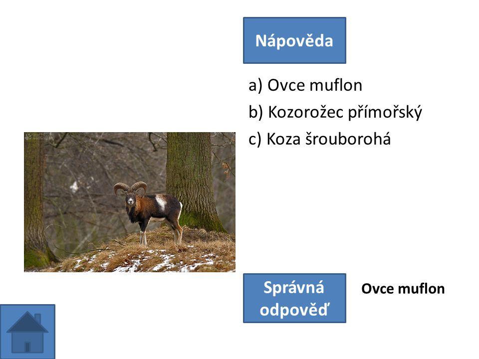 a) Ovce muflon b) Kozorožec přímořský c) Koza šrouborohá Nápověda Správná odpověď Ovce muflon