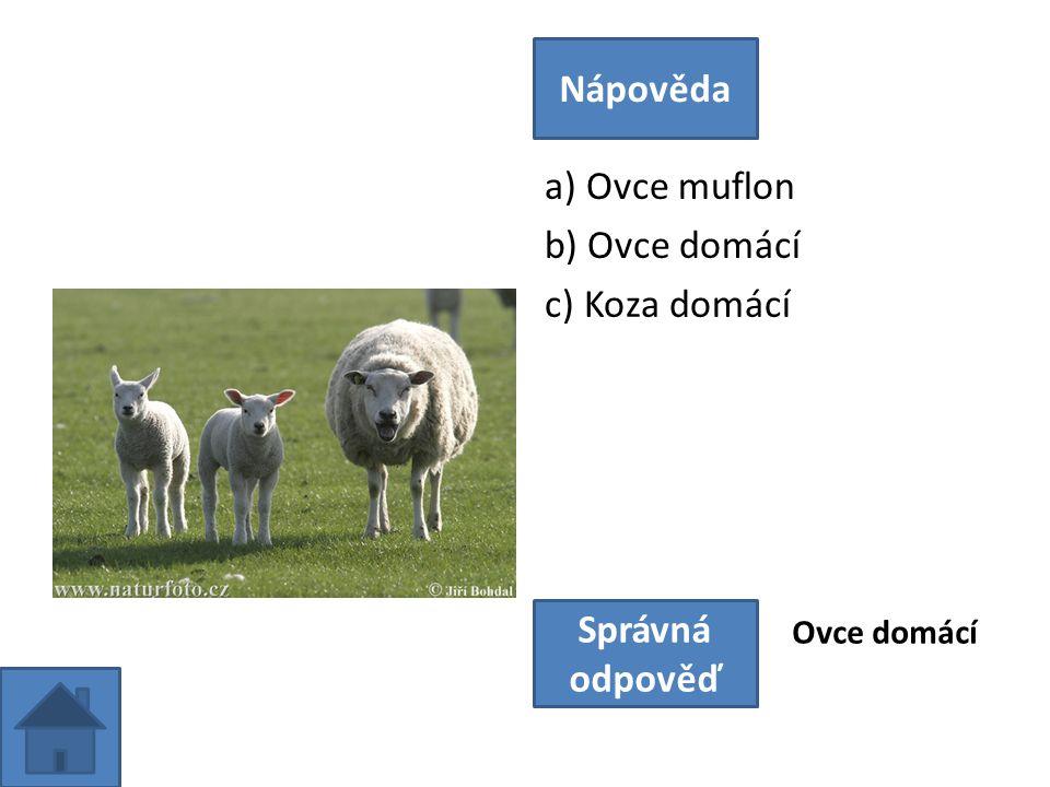 a) Ovce muflon b) Ovce domácí c) Koza domácí Nápověda Správná odpověď Ovce domácí