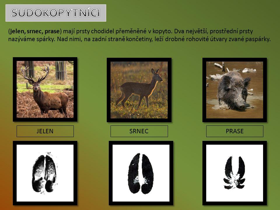 (jelen, srnec, prase) mají prsty chodidel přeměněné v kopyto.