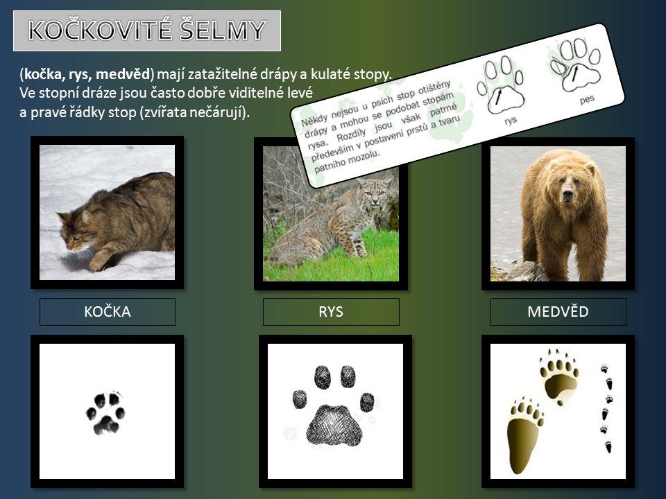 (kočka, rys, medvěd) mají zatažitelné drápy a kulaté stopy.
