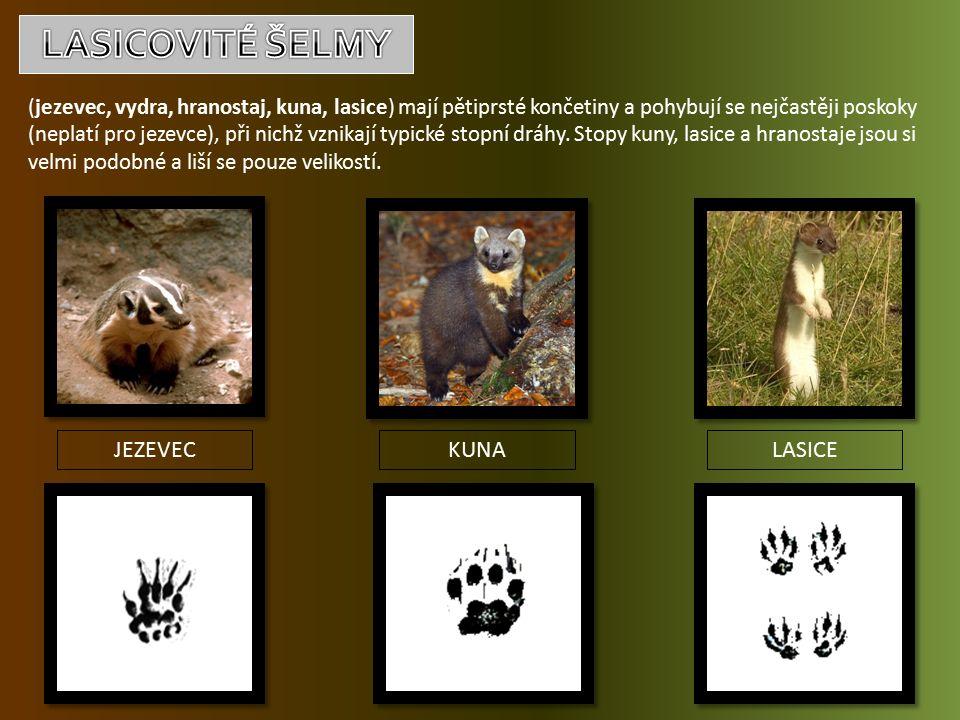 (jezevec, vydra, hranostaj, kuna, lasice) mají pětiprsté končetiny a pohybují se nejčastěji poskoky (neplatí pro jezevce), při nichž vznikají typické stopní dráhy.