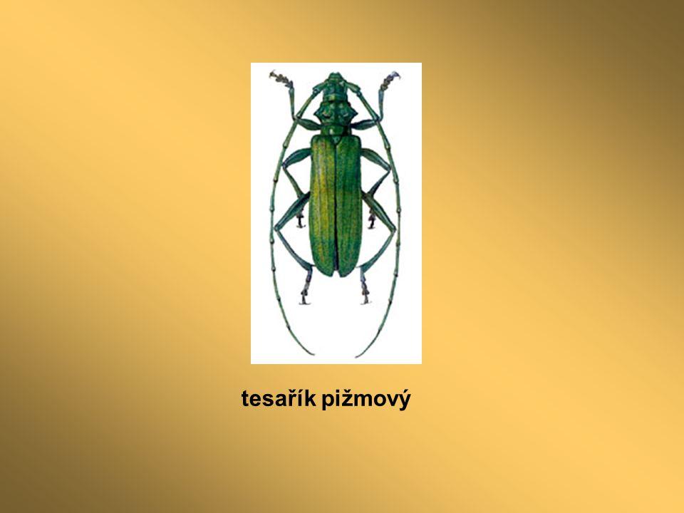 tesařík pižmový