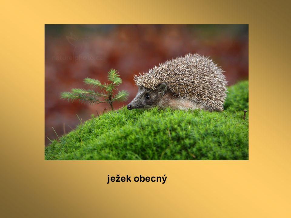 ježek obecný