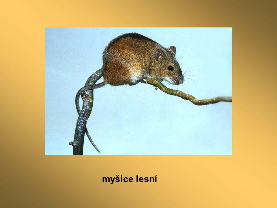 myšice lesní