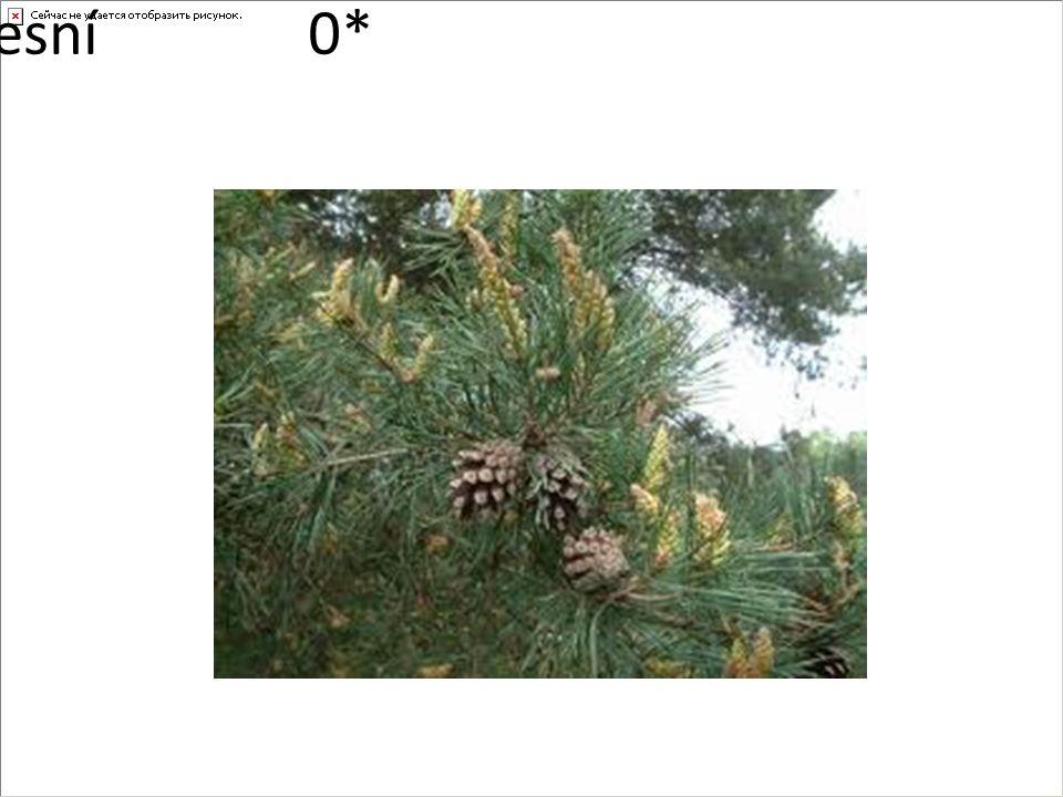 borovice lesní0*