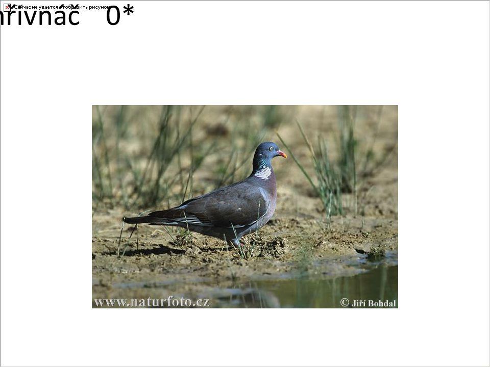 holub hřivnáč0*