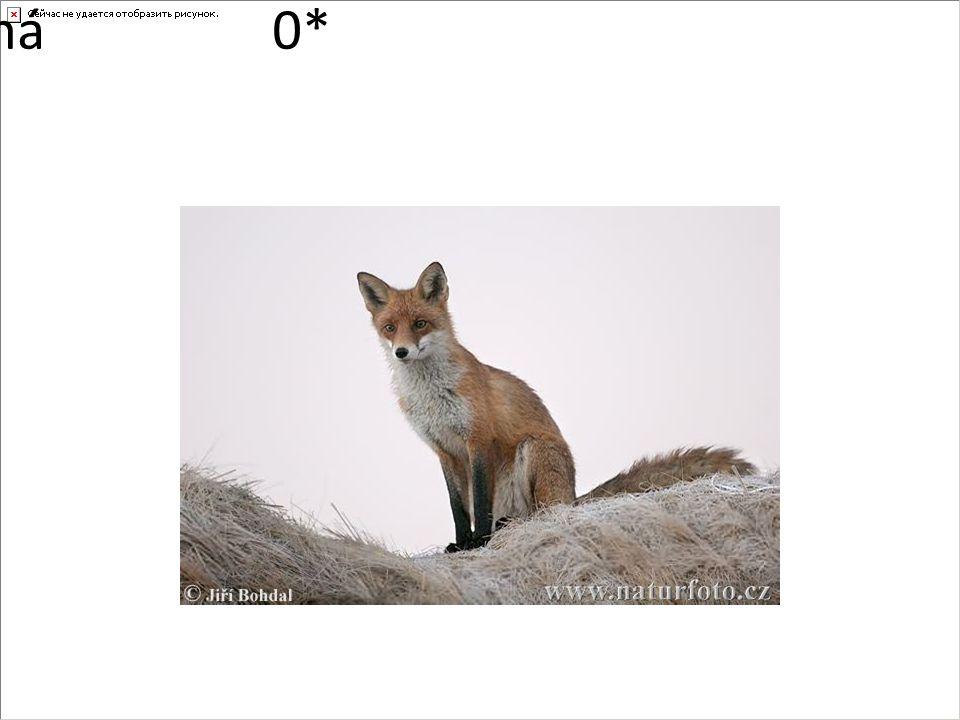 liška obecná0*