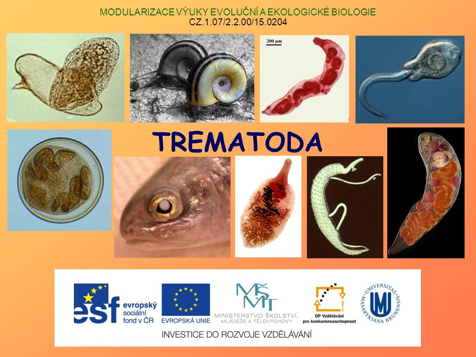 Třída TREMATODA (motolice – flukes)  kmen Plathelminthes  endoparazité (ektoparazité – část Aspidogastrea; Transversotrematidae)  cizopasníci obratlovců (výjimka – někteří Aspidogastrea)  typický morfologický znak – alespoň 1 přísavka  složité vývojové cykly (heteroxenní; vazba na měkkýše) Podtřída Aspidogastrea (Aspidobothrea) Podtřída Digenea