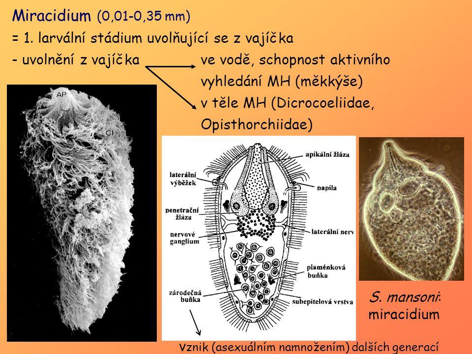 Miracidium (0,01-0,35 mm) = 1. larvální stádium uvolňující se z vajíčka - uvolnění z vajíčka ve vodě, schopnost aktivního vyhledání MH (měkkýše) v těl