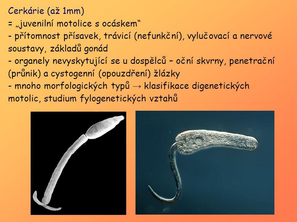 """Cerkárie (až 1mm) = """"juvenilní motolice s ocáskem"""" - přítomnost přísavek, trávicí (nefunkční), vylučovací a nervové soustavy, základů gonád - organely"""