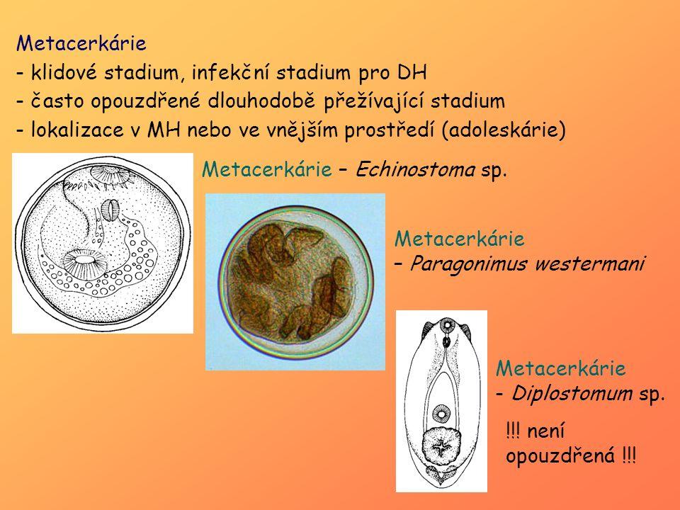 Metacerkárie - klidové stadium, infekční stadium pro DH - často opouzdřené dlouhodobě přežívající stadium - lokalizace v MH nebo ve vnějším prostředí