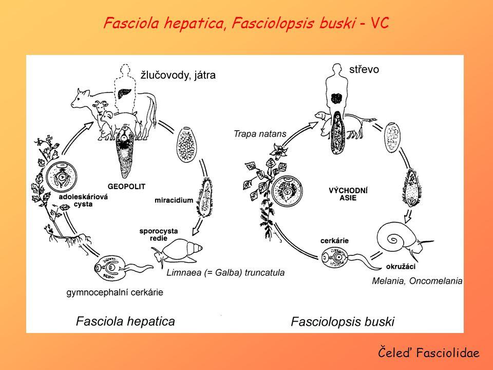 Čeleď Fasciolidae Fasciola hepatica, Fasciolopsis buski - VC