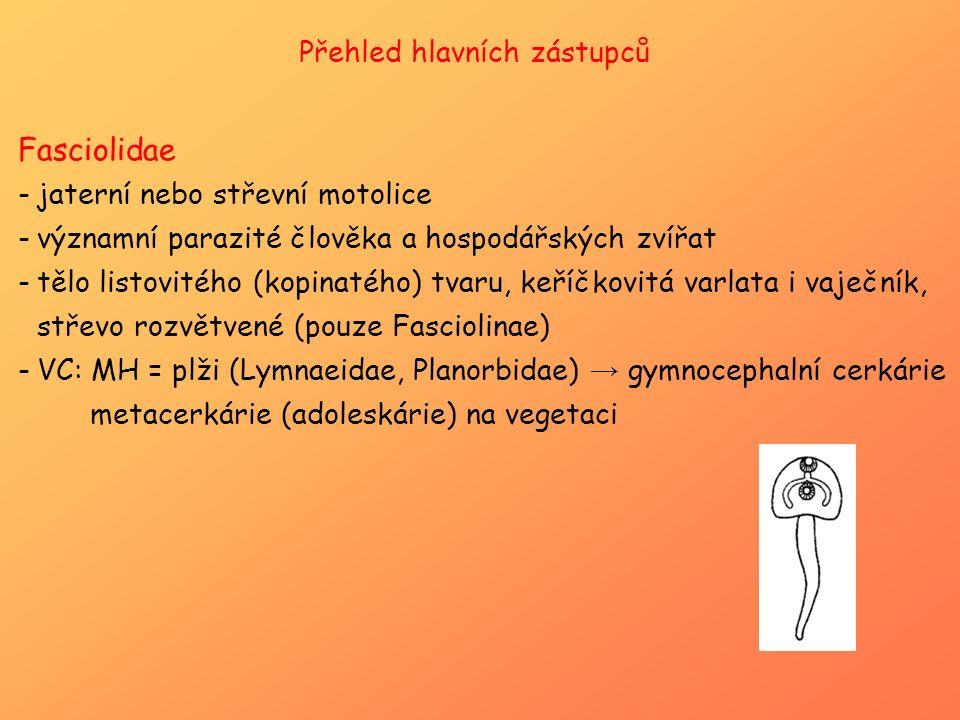 Přehled hlavních zástupců Fasciolidae -jaterní nebo střevní motolice -významní parazité člověka a hospodářských zvířat -tělo listovitého (kopinatého)