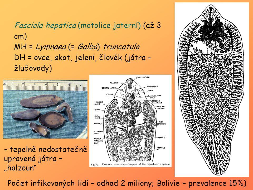 Fasciola hepatica (motolice jaterní) (až 3 cm) MH = Lymnaea (= Galba) truncatula DH = ovce, skot, jeleni, člověk (játra - žlučovody) Počet infikovanýc