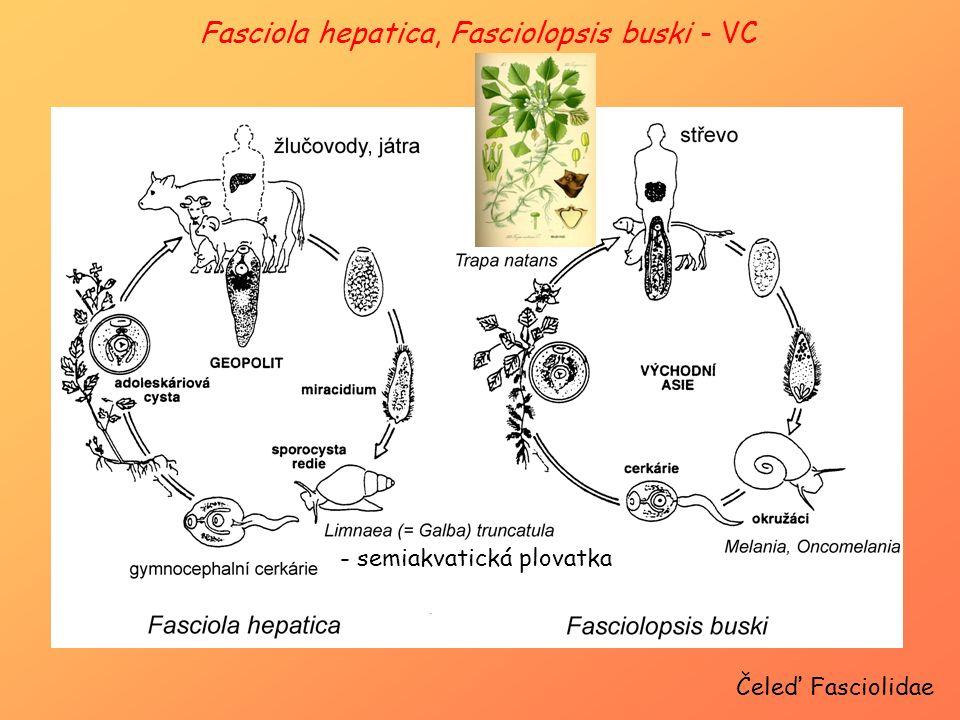 Čeleď Fasciolidae Fasciola hepatica, Fasciolopsis buski - VC - semiakvatická plovatka