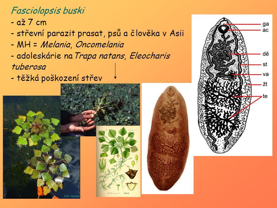 Fasciolopsis buski - až 7 cm - střevní parazit prasat, psů a člověka v Asii - MH = Melania, Oncomelania - adoleskárie naTrapa natans, Eleocharis tuber