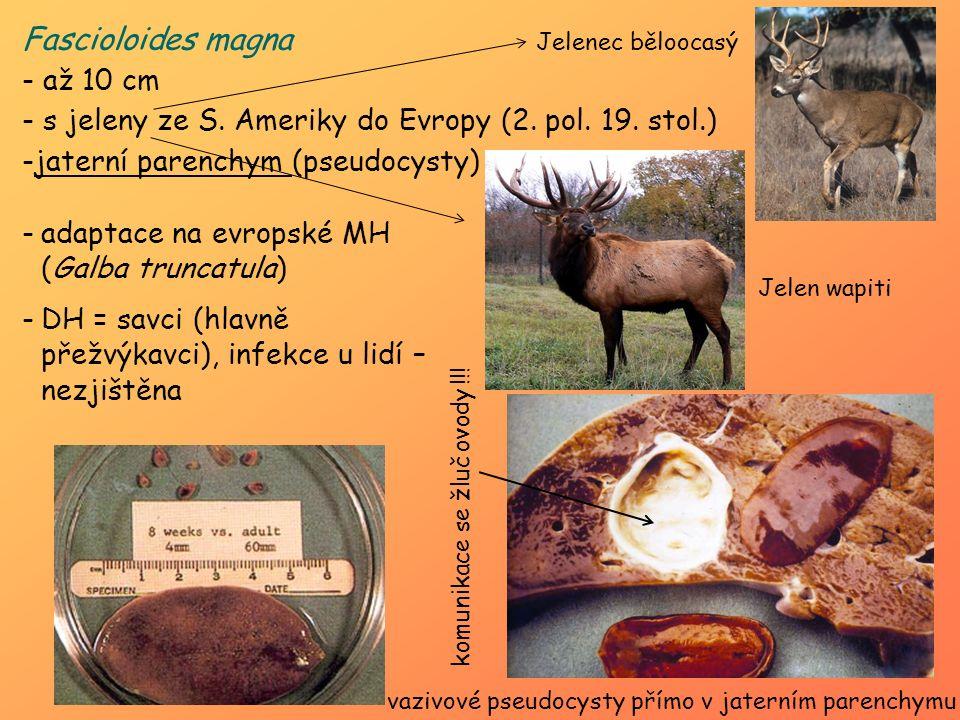 Fascioloides magna - až 10 cm - s jeleny ze S. Ameriky do Evropy (2. pol. 19. stol.) -jaterní parenchym (pseudocysty) Jelenec běloocasý Jelen wapiti v
