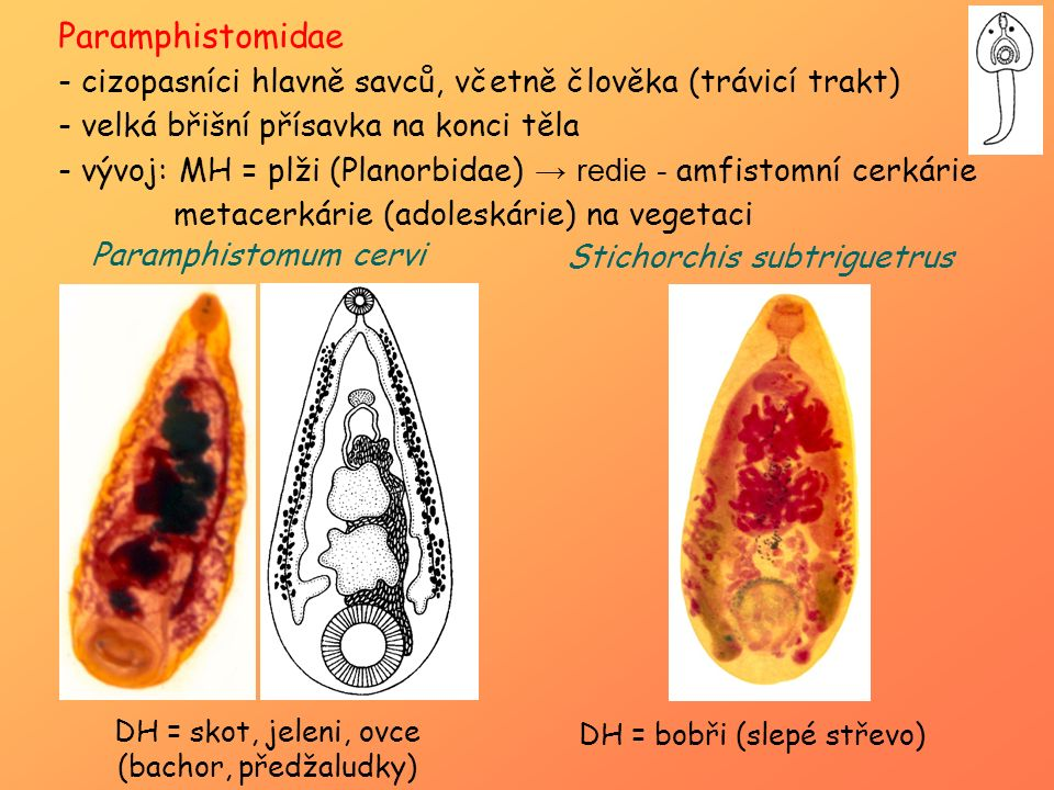 Paramphistomidae - cizopasníci hlavně savců, včetně člověka (trávicí trakt) - velká břišní přísavka na konci těla - vývoj: MH = plži (Planorbidae) → r