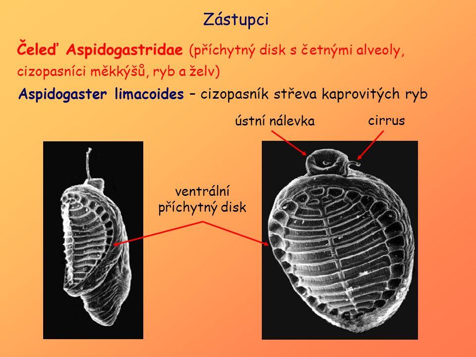 Čeleď Aspidogastridae (příchytný disk s četnými alveoly, cizopasníci měkkýšů, ryb a želv) Zástupci ústní nálevka cirrus ventrální příchytný disk Aspid
