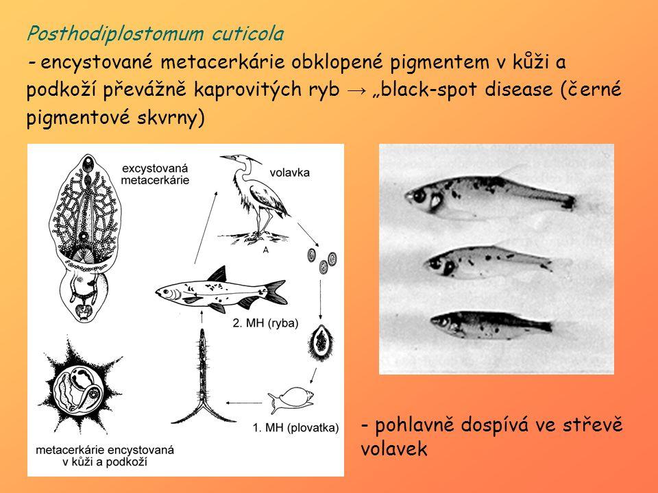 """Posthodiplostomum cuticola - encystované metacerkárie obklopené pigmentem v kůži a podkoží převážně kaprovitých ryb → """"black-spot disease (černé pigme"""