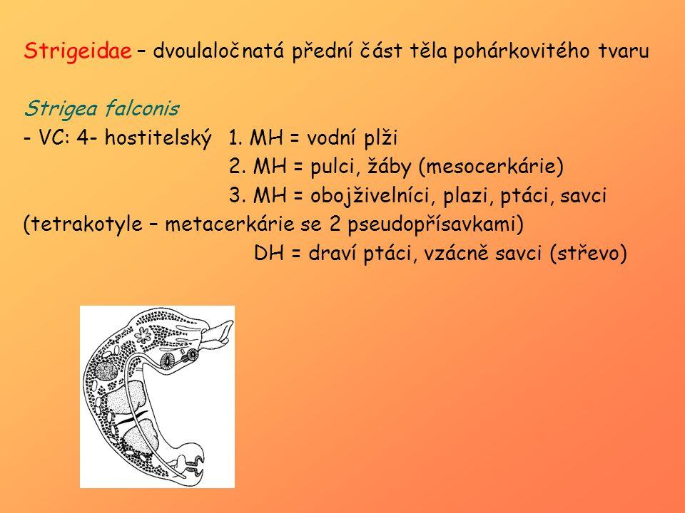 Strigeidae – dvoulaločnatá přední část těla pohárkovitého tvaru Strigea falconis - VC: 4- hostitelský1. MH = vodní plži 2. MH = pulci, žáby (mesocerká