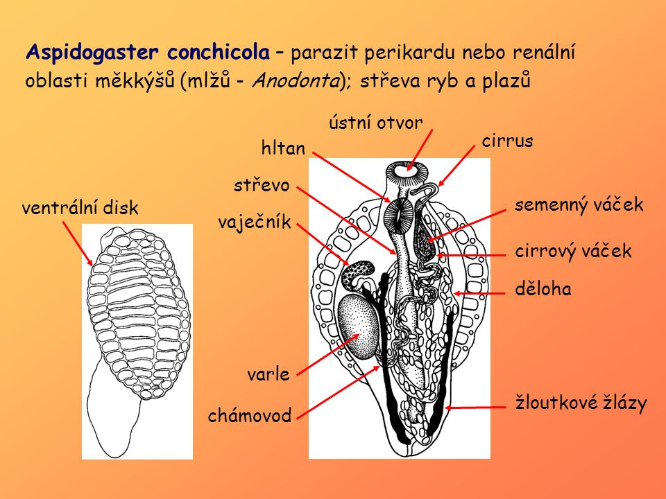 Multicotyle purvisi – parazit střeva nebo střevní stěny měkkýšů, korýšů a želv varlata žloutkové trsy Laurerův kanál vaječník ventrální disk střevo hltan cirrový váček chámovod děloha
