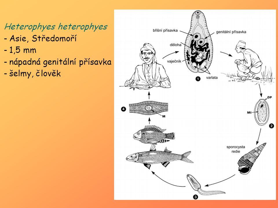 Heterophyes heterophyes -Asie, Středomoří -1,5 mm -nápadná genitální přísavka -šelmy, člověk