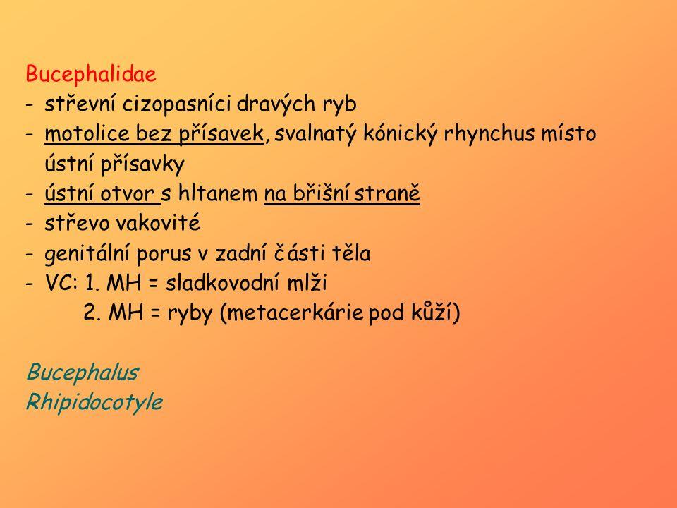 Bucephalidae -střevní cizopasníci dravých ryb -motolice bez přísavek, svalnatý kónický rhynchus místo ústní přísavky -ústní otvor s hltanem na břišní