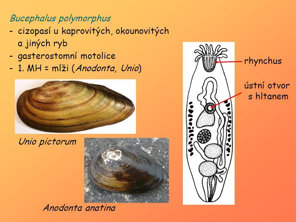 Bucephalus polymorphus -cizopasí u kaprovitých, okounovitých a jiných ryb -gasterostomní motolice -1. MH = mlži (Anodonta, Unio) ústní otvor s hltanem