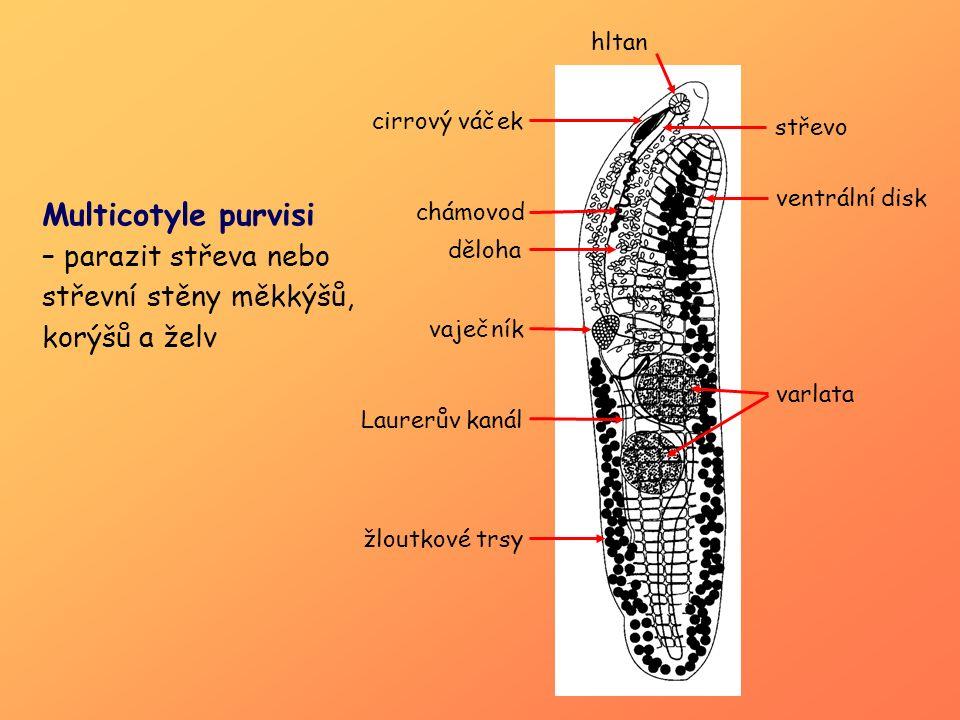 Samičí pohlavní soustava:  vaječník (ovarium) – nepárový (7)  vejcovod (oviduct) (8)  ootyp (3)  Laurerův kanál ( odvod přebytečného materiálu z ootypu)( 5)  chámová schránka (receptaculum seminis) (6)  žloutkové trsy (vitellaria; produkce vitelocytů ) (4)  Mehlisovy žlázy (skořápečné) (2)  děloha (uterus) (1)  genitální atrium