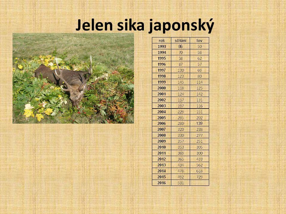 Jelen sika japonský