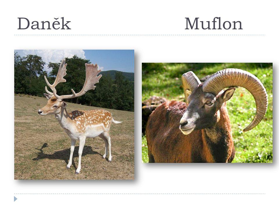 DaněkMuflon