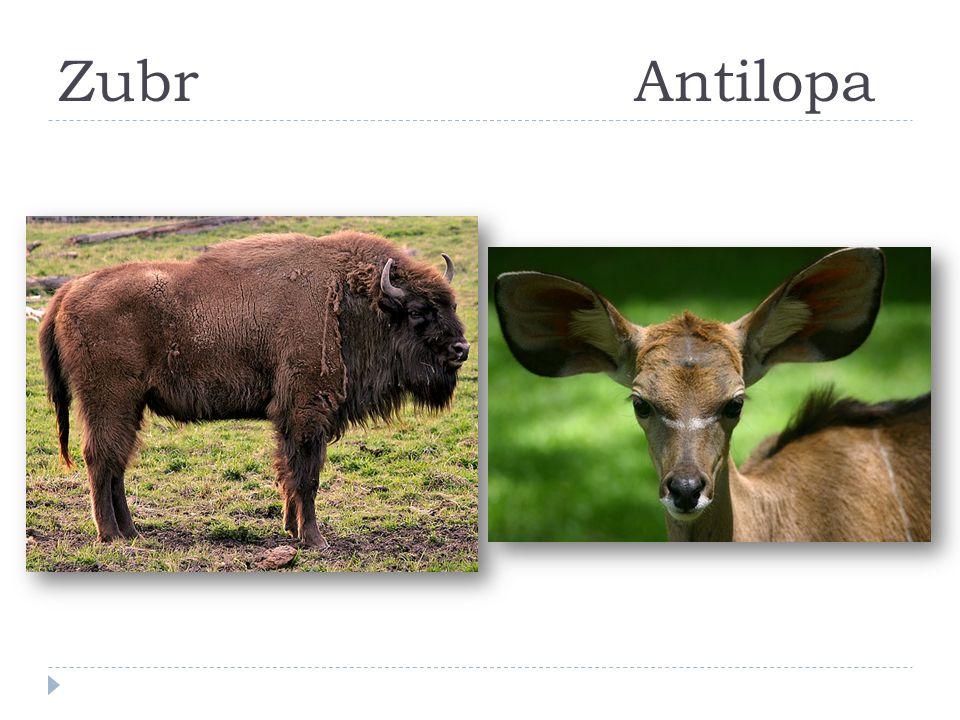 Zubr Antilopa