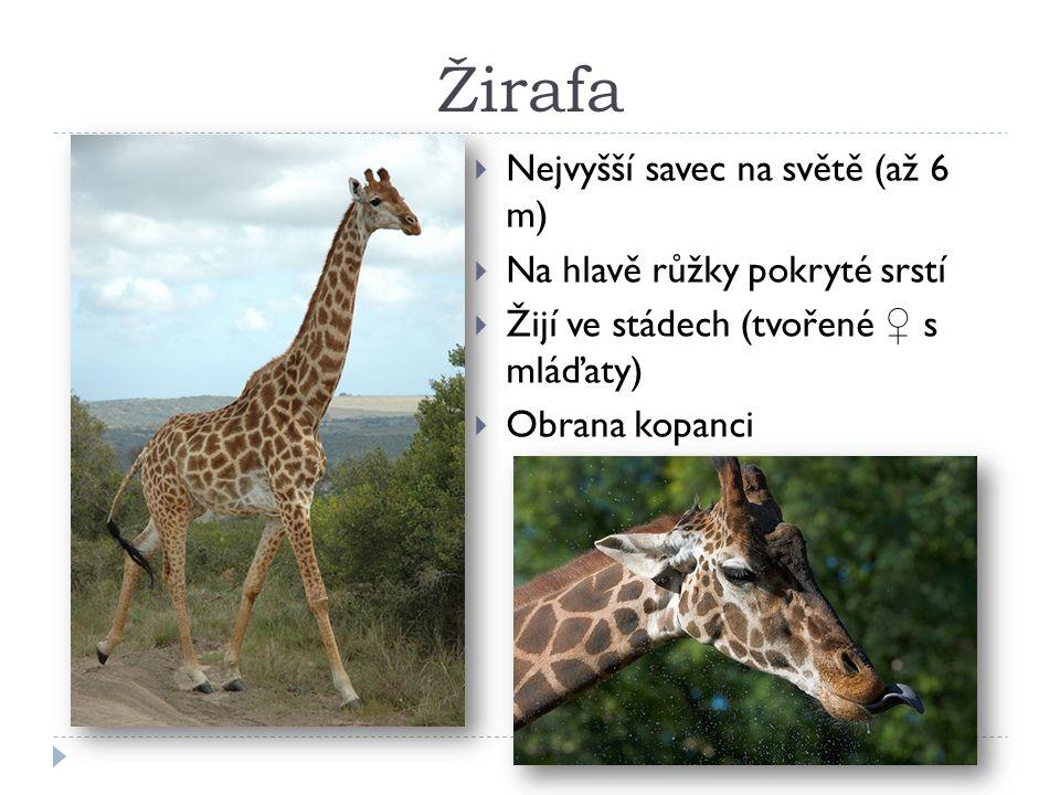 Žirafa  Nejvyšší savec na světě (až 6 m)  Na hlavě růžky pokryté srstí  Žijí ve stádech (tvořené ♀ s mláďaty)  Obrana kopanci