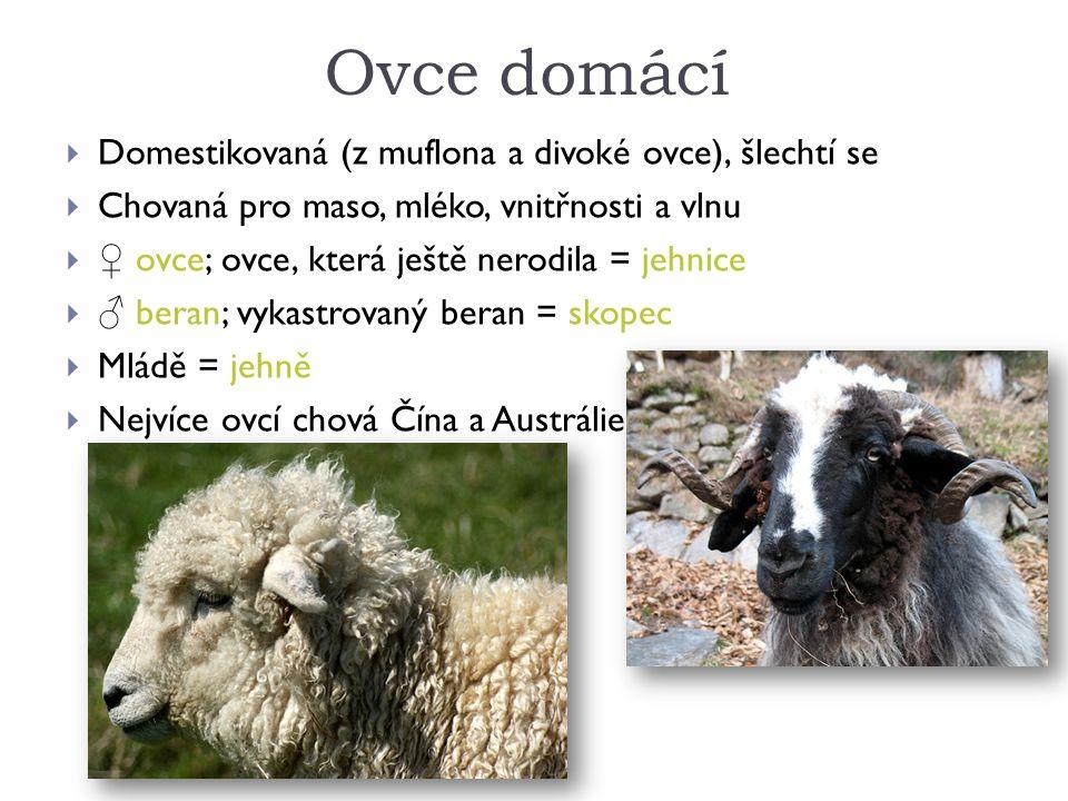 Ovce domácí  Domestikovaná (z muflona a divoké ovce), šlechtí se  Chovaná pro maso, mléko, vnitřnosti a vlnu  ♀ ovce; ovce, která ještě nerodila = jehnice  ♂ beran; vykastrovaný beran = skopec  Mládě = jehně  Nejvíce ovcí chová Čína a Austrálie