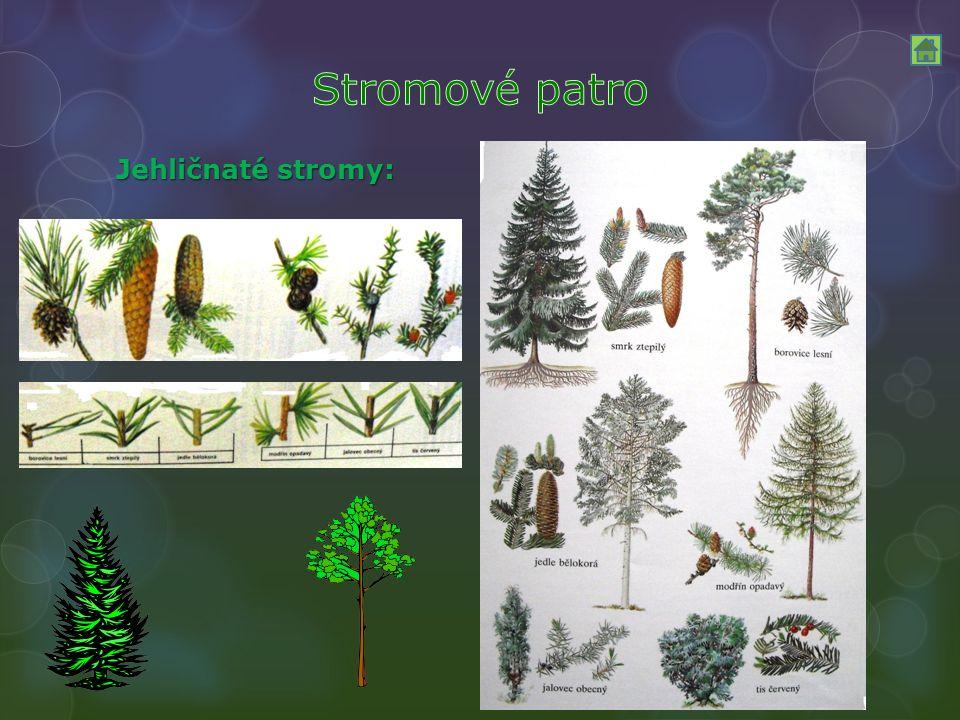Jehličnaté stromy: