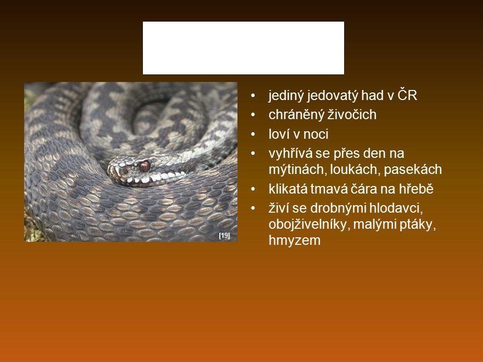 Zmije obecná jediný jedovatý had v ČR chráněný živočich loví v noci vyhřívá se přes den na mýtinách, loukách, pasekách klikatá tmavá čára na hřebě živ